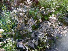 """'Ravenswing' cow parsley (Anthriscus sylvestris) Esteemed for its dark coloring, Cow Parsley offers a layered 18 in. mound of luscious, bronzy plum-colored fern-like foliage. In early summer, branched flowering spikes hold airy umbels w small white flowers & pink bracts.  Keep the blooms trimmed back to ensure an attractive habit.  Blooms July.  Size: 2'–2-1/2' high x 18""""–2' wide; hardy to zone 8."""