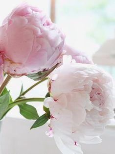 Large, delicate pink and white peonies in bloom. Pretty pink peonies in a vase. Peony Flower, My Flower, Peonies Wallpaper, Fresh Flowers, Beautiful Flowers, Light Pink Flowers, Exotic Flowers, Spring Flowers, Blush Peonies