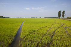 Il riso è un alimento davvero prezioso e non solo per i piatti della tradizione italiana. Per più della metà della popolazione mondiale,in...