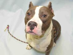 SAFE 9-22-2015 --- RETURNED 09/20/15 PERS PROB --- SAFE 9-2-2015 --- Brooklyn Center CAPONE – A1049255  NEUTERED MALE, BLUE / WHITE, AM PIT BULL TER, 3 yrs OWNER SUR – ONHOLDHERE, HOLD FOR ID Reason TOO HYPER Intake condition EXAM REQ Intake Date 08/26/2015