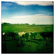 Conns lane cows