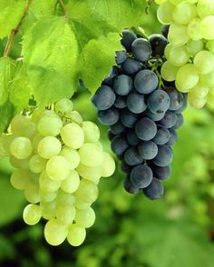 Nothing found for Best Wine Grapes For Hot Climates Vitis Vinifera, Fruit Plants, Growing Grapes, Food Backgrounds, Fresh Fruits And Vegetables, Healthy Fruits, Vitamins And Minerals, Belle Photo, Trees To Plant