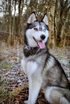 Outstanding siberians detail is readily available on our site. Read more and you wont be sorry you did. Cute Husky Puppies, Husky Puppy, Cute Dogs, Animals And Pets, Baby Animals, Cute Animals, Pitbull Wallpaper, Dog Names, Beautiful Dogs