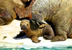 Walrus and his baby - photo by  Mauro Mozzarelli