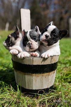 French Bulldog Puppies Tris by Luigi Panico More