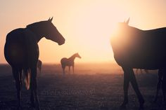 A herd of Don mares and foals