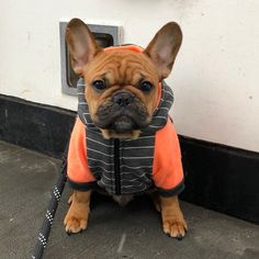 """Gefällt 97 Mal, 2 Kommentare - Frenchie (@frenchie_world_insta) auf Instagram: """"Another cold day, another reason to refuse to walk Via : @bevo_frenchie #frenchie…"""""""