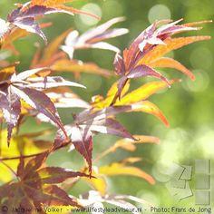 Wat begint het buiten prachtig te kleuren!  Foto uit het album 'Bohemian voortuin', bekijk het hele project. Link in profiel.  Acer in fall.  Image of project: Small front yard in hippie chic, bohemian garden style. Photo gallery: link in bio. --------------------------------------------------------------------------------------------------------------------------------------- #gardendesign#lifestyleadviseur #voortuin#boho #bohochic #bohemian#bohogarden  #hippiechic #smallgarden #kleinetuin…