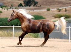 CR Moonstruck Meadow - Show Horse Gallery, A Different Horse is Featured Every Day, half Arabian