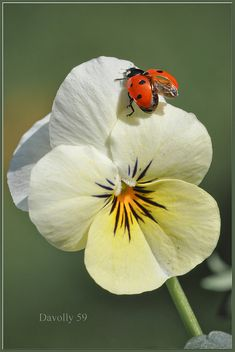 Lady bug on pansy