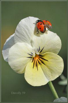 Ladybug on white flower