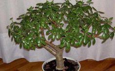 И у вас в доме такое же, правда? Горшечное растение «толстянка», известное в народе больше как денежное дерево, украшает подоконники многих из нас. Некоторые верят, что этот цветок...
