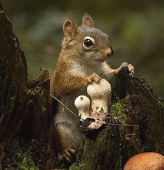 squirrel with puffball mushrooms