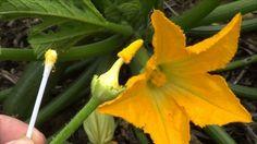 Cómo polinizar calabacines manualmente   Plantas