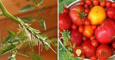 Ako zväčšiť úrodu paradajok o polovicu? Jednoduchý návod! Gardening, Vegetables, Greenhouses, Hacks, Plants, Garten, Vegetable Recipes, Veggie Food, Lawn And Garden