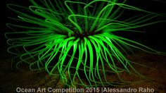 1st place compact macro category, 'The Fluorescent Cerianthus'  This photo shows a glowing Cerianthus, which is a type of tube anemone. The creature, from Noli, Italy, takes on an otherworldly appearance in the image due to clever use of lighting and camera filters| www.piclectica.com #piclectica