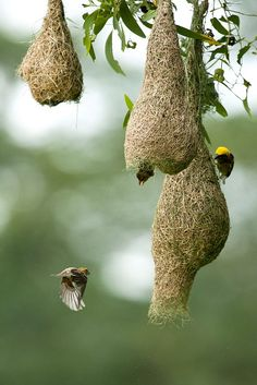Baya Weaver and nests