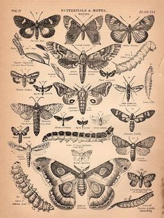 Click above to enlarge graphic This is a glorious page full of insects from an 1880's Encyclopedia! This wonderful page features loads of moths, butterflies and even a few caterpillars. There are lots of wings here for you to use in your collage's and artist trading cards, these would be fun to color in too!