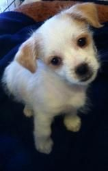 Chloe is an adoptable Chihuahua #Dog in Riverside, RI. Chloe is a 9 week old Chihuahua mix. #petfinder