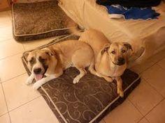 Rocky and Adrian | #BONDED #PAIR | #Adoptable #Dog | #Mastiff & #Saint #Bernard #St. Bernard |  Young • Female • Large | Sin City Saint Rescue-- #Las #Vegas, #NV