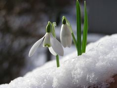 Winter plants create interest, texture and a bit of the unexpected. Find out what the top 10 winter plants are to make your garden thrive. Snow Drops Flowers, Winter Flowers, Spring Flowers, Bday Flowers, Winter Plants, Winter Garden, Professional Landscaping, Spring Bulbs, All Nature