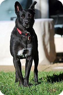 Dallas, TX - Australian Cattle Dog Mix. Meet Jolene II, a dog for adoption. http://www.adoptapet.com/pet/15399841-dallas-texas-australian-cattle-dog-mix