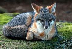 pretty little fox