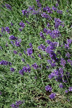 Lavendula Hidcote. Deze lavendel staat bekend om zijn dieppaarse bloemen. De plant blijft klein, hooguit 50 cm. De bloemen trekken overdadig vlinders en bijen aan. Bij Lavendel geldt: hoe meer zon, hoe sterker de geur en hoe meer vlinders en bijen. Wel even goed de snoei-adviezen doornemen voor lavendel. De plant 'verhout' in de winter en moet je zelf mooi in vorm houden. Lavendel is ook mooi in de winter en zeker de Hidcote met het grijze blad.