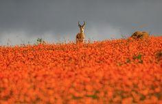 Springbok in  Namaqua National Park