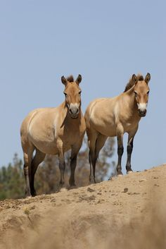 In the San Diego Zoo Safari Park began breeding the endangered Przewalski's horses, which had been considered extinct in its native Mongolia since the Beautiful Horses, Animals Beautiful, Cute Animals, Rare Horse Breeds, Pony Breeds, Extinct Animals, San Diego Zoo, Animal Photography, Western Photography