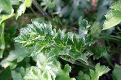 Berce sphondyle (heracleum sphondylium)