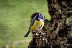 Home Alone - Home Alone (blue tit bird)