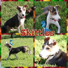 Skittles is my name, loving life is my game. I'm a handsome boy if I do say so myself. I'll be honest - I like to play and play hard. I'll play with toys, people, other dogs - whatever you give me.  Skittles is an Italian Greyhound mix. His estimated date of birth is April 1, 2015. As of 10/7/15 he weighs 30 pounds.  Come visit me at the Adoption Center.   5533 Weslayan Houston, Tx 77002