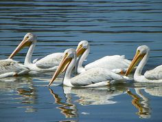 Dream #9-A flock of pelicans turned into a pack of coyotes.