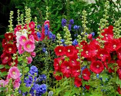Gorgeous hollyhocks in a cottage garden--and those delphinium add such a beautiful accent of bright blue!