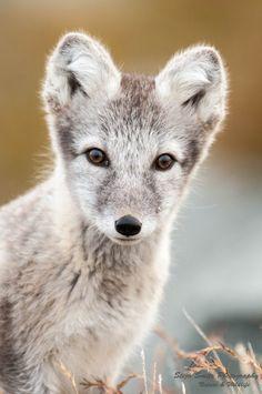 Photo Artic Fox by Stijn Smits