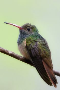 Adorable Buff-Bellied Hummingbird by Kim Slonaker
