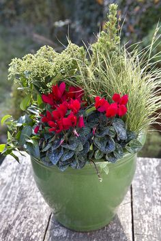 This winter pot contains Skimmia japonica 'Rubella', Picea glauca 'Conica', Carex oshimensis 'Evergold', Red mini cyclamen, green trailing ivy. Winter Potted Plants, Large Plants, Container Flowers, Container Plants, Winter Container Gardening, Fall Containers, Pot Plante, Outdoor Pots, Fall Planters