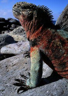 Een bezoek aan de Galápagoseilanden is een onvergetelijke ervaring. U bezoekt immers de ultieme natuurlijke dierentuin, waar tal van bijzondere dieren en vogels leven zonder schrik voor de mens. #galapagos