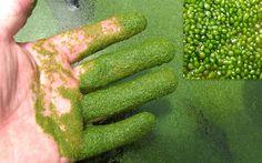 Wolffia Arrhiza Watermeal Duckweed Starter Culture