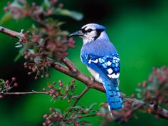The feathers on a blue jay's wings and tail are bright blue, with white bands and black crossbars. Description from uniquebirds.blogspot.com. I searched for this on bing.com/images