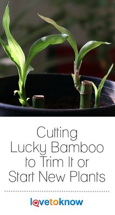Pruning lucky bamboo plants (Dracaena sanderiana) is necessary when the sprouts grow too tall and leaves die. Knowing how to cut a bamboo plant and propagate it from the trimmings is a valuable skill if you have these plants in your home or office. Bamboo House Plant, Indoor Bamboo Plant, Bamboo Plant Care, Snake Plant Care, Lucky Bamboo Plants, Indoor Plants, House Plants, How To Grow Bamboo, Bamboo Stalks