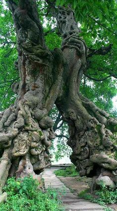 odd looking tree trunks join together forming a tunnel