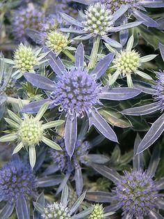 ✯ Eryngium - Blue Hobbit (Dwarf Sea Holly)