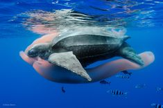 Feast of the ancient mariner. Leatherback turtle (Dermochelys coriacea) feeding upon a pyrosome. ©Brian Skerry