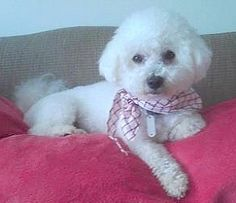 SNOOPY: The Snoopy from Peanuts wishes he was this cute! This guy is an adoptable Bichon Frise in Barium Springs, NC