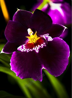 Orchid: Miltonia - Flickr - Photo Sharing!