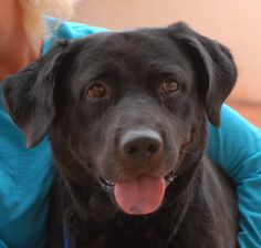 Moose would love to meet you!  He is a happy, fun-loving young Labrador Retriever debuting for adoption today at Nevada SPCA (www.nevadaspca.org).  Moose is 3 years of age and neutered, and good with other dogs.  He needs more leash training so he doesn't pull so hard during walks, but since he is eager to please we believe he will learn quickly.  Moose was at another shelter that ran out of space.  Please visit and ask for him by name!