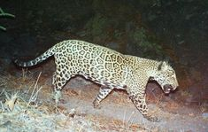 Study: Trump's Border Wall Threatens 93 Endangered Species | Center for Biological Diversity | Jaguars, Wolves, Owls Among Those in Harm's Way | Click to read and share the full press release.