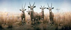 Richard Ross, American Museum of Natural History, Oryx,   New York, New York 1977